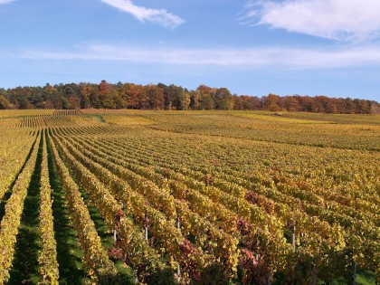 Courmas vineyard in autumn