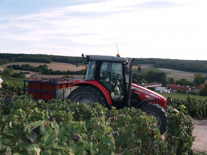Tractor in vineyards transporting fresh harvest