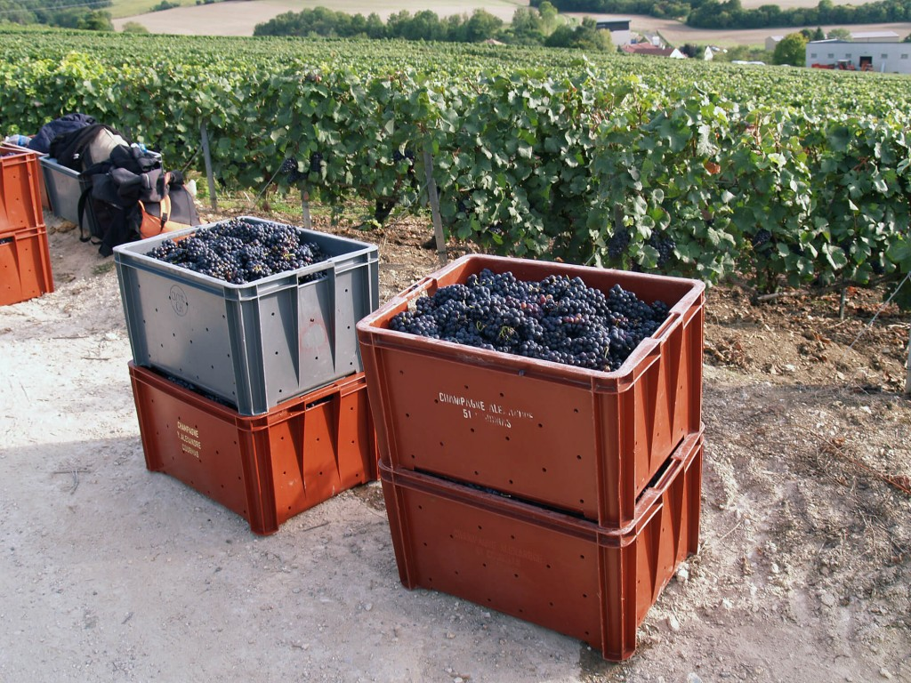 Boxes filled with the harvest of grapes