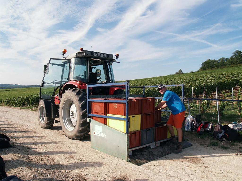 Chargement des bacs remplis de raisin sur la plateforme à l'arrière du tracteur