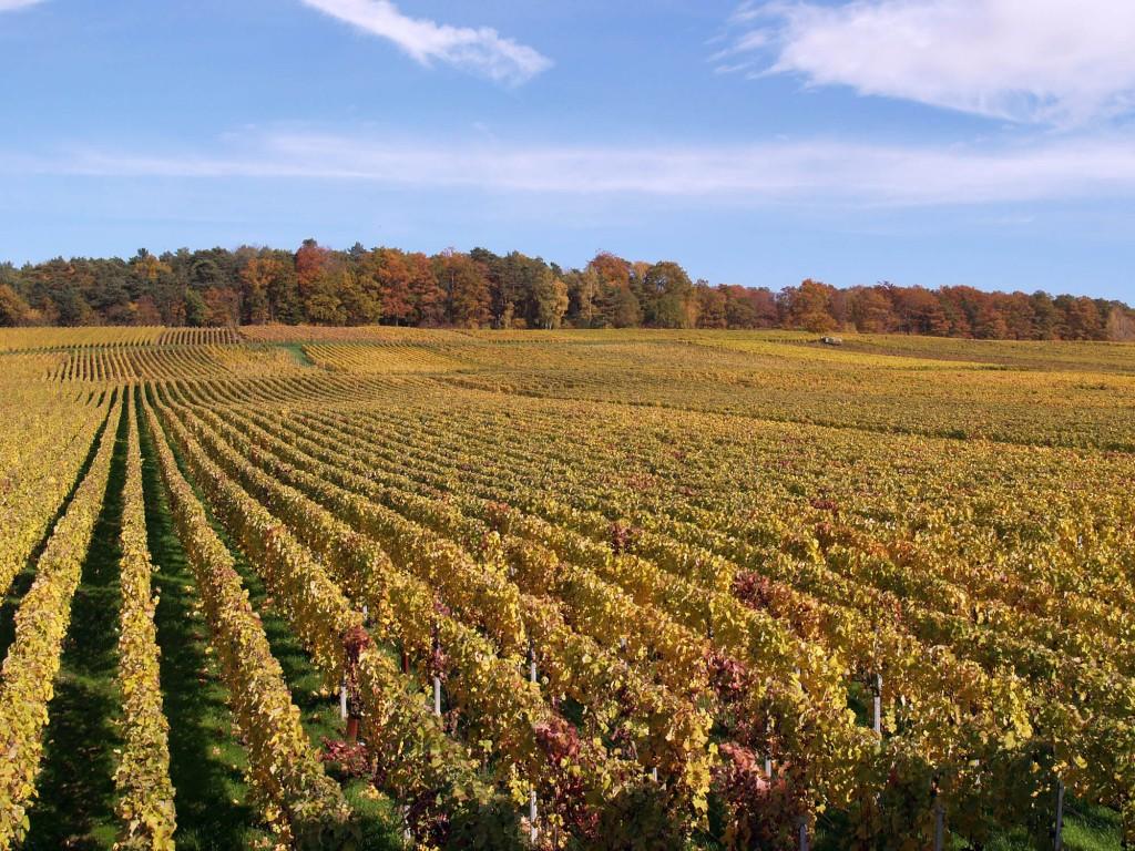 Courmas vineyard in autumn