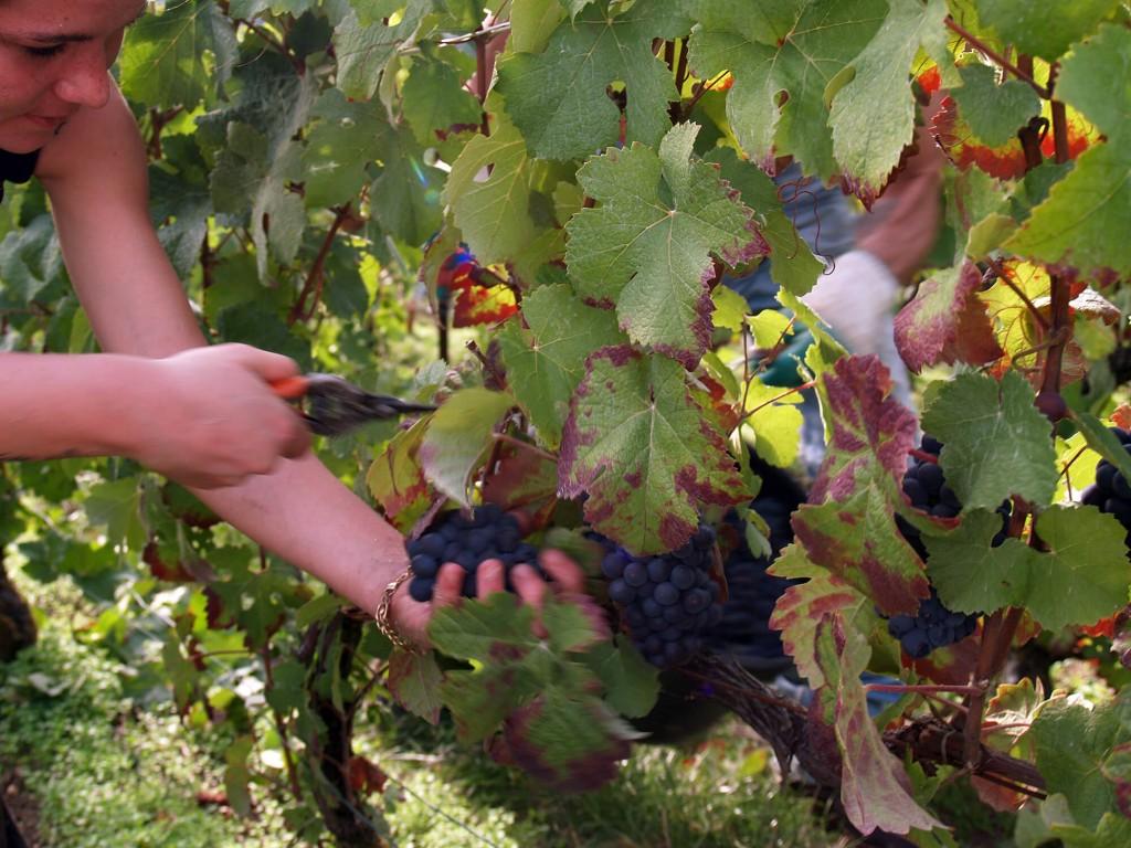 Le raisin, arrivé à maturité, est coupé en utilisant un sécateur.