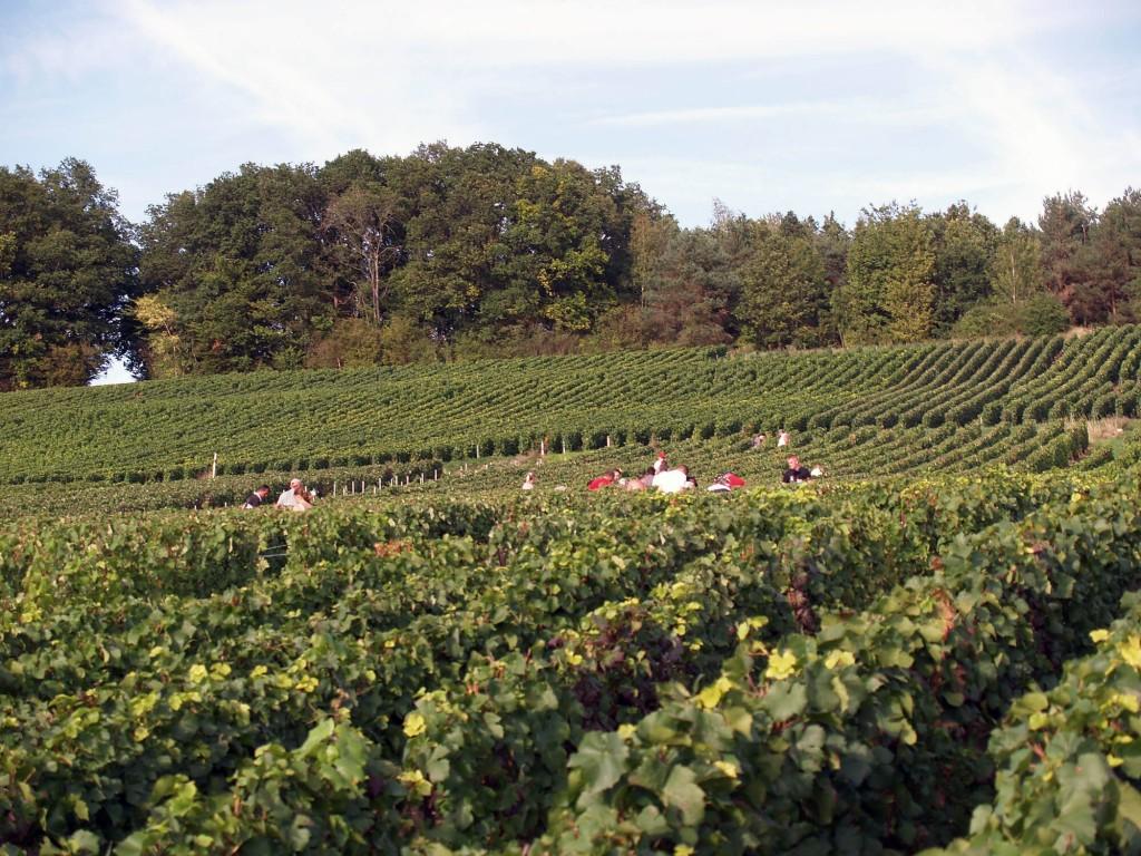 La récolte du raisin de l'exploitation est faîte à la main.